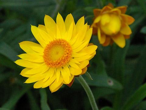 ムギワラギク属、分類:一年草・多年草 Xerochrysum bracteatum',