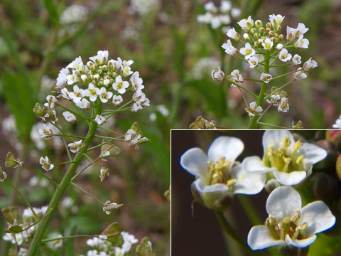 Candytuft Flowers on Sbookshelf