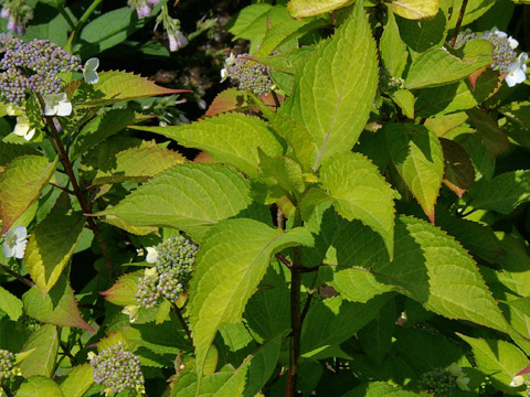 オオアマチャ【大甘茶, Hydrangea macrophylla... Hy